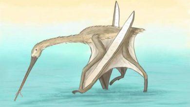 Photo de   Un asombroso pterosaurio con pico largo y sin dientes descubierto en el norte de Marruecos