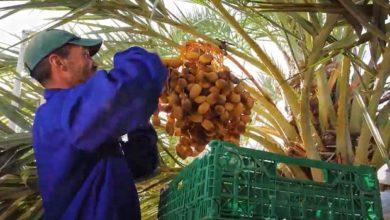 Photo de Festival de los dátiles de Erfoud: la celebración que pone fin a la cosecha